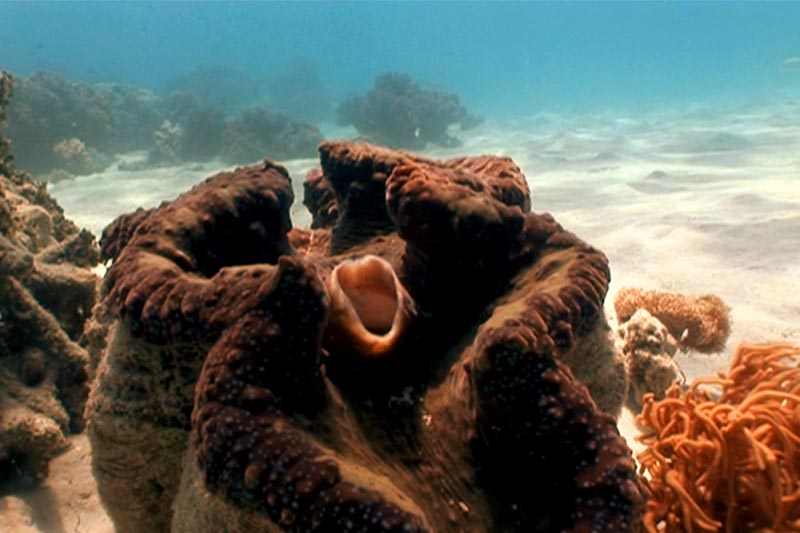 Giant Clam Low Isles