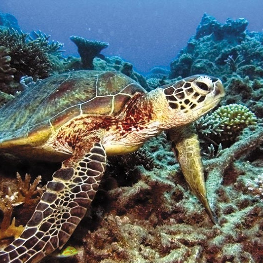 turtle swimming low isles